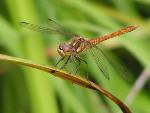 Стрекоза - крыловский намек лентяям